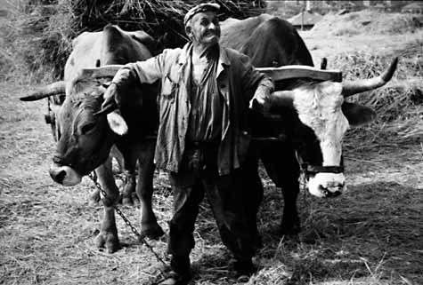 MatiowithHisCows1979