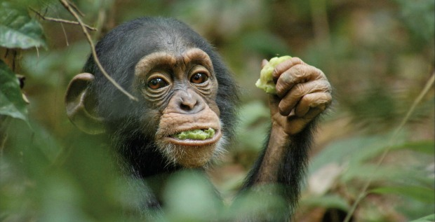 Keep Fit Like Oscar with FitKid and Disneynature Chimpanzee!
