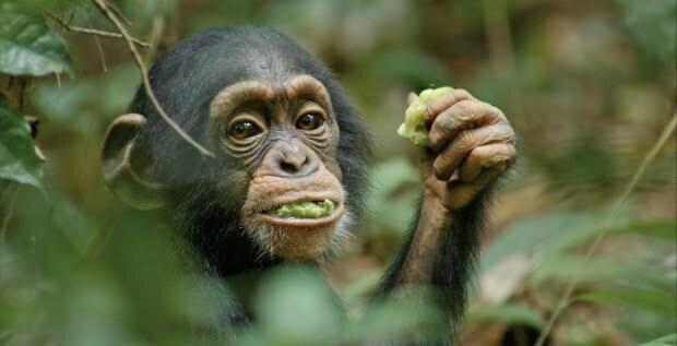 Sir David Attenborough Urges You To Support Chimpanzee