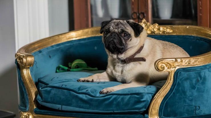 Pug At First Sight Watch Disney's Patrick UK Trailer