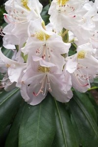 looking after rhododendron