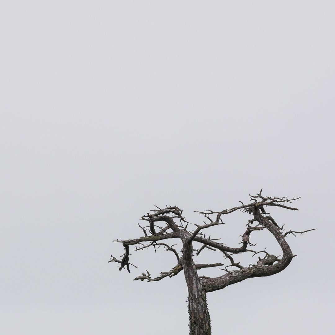 Dead Scots Pine, Thatcher Point, Torquay, Devon.