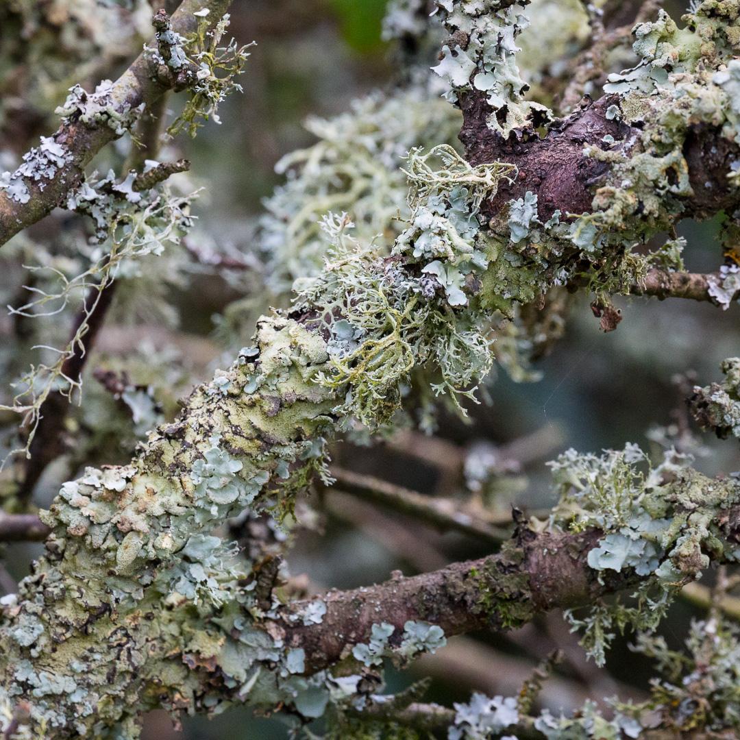 Lichen, St Mary's Bay, Devon.