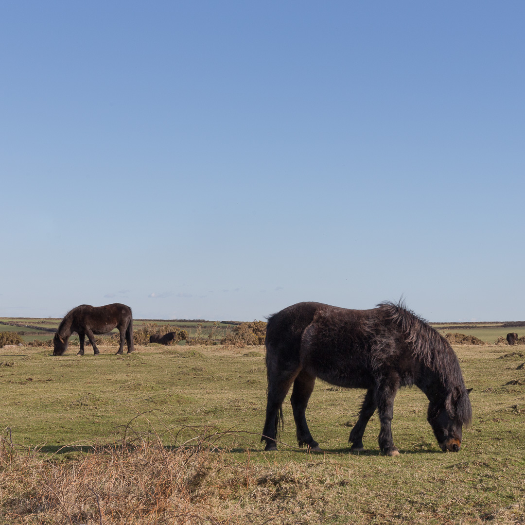 Horses, Bolt Head, Devon.