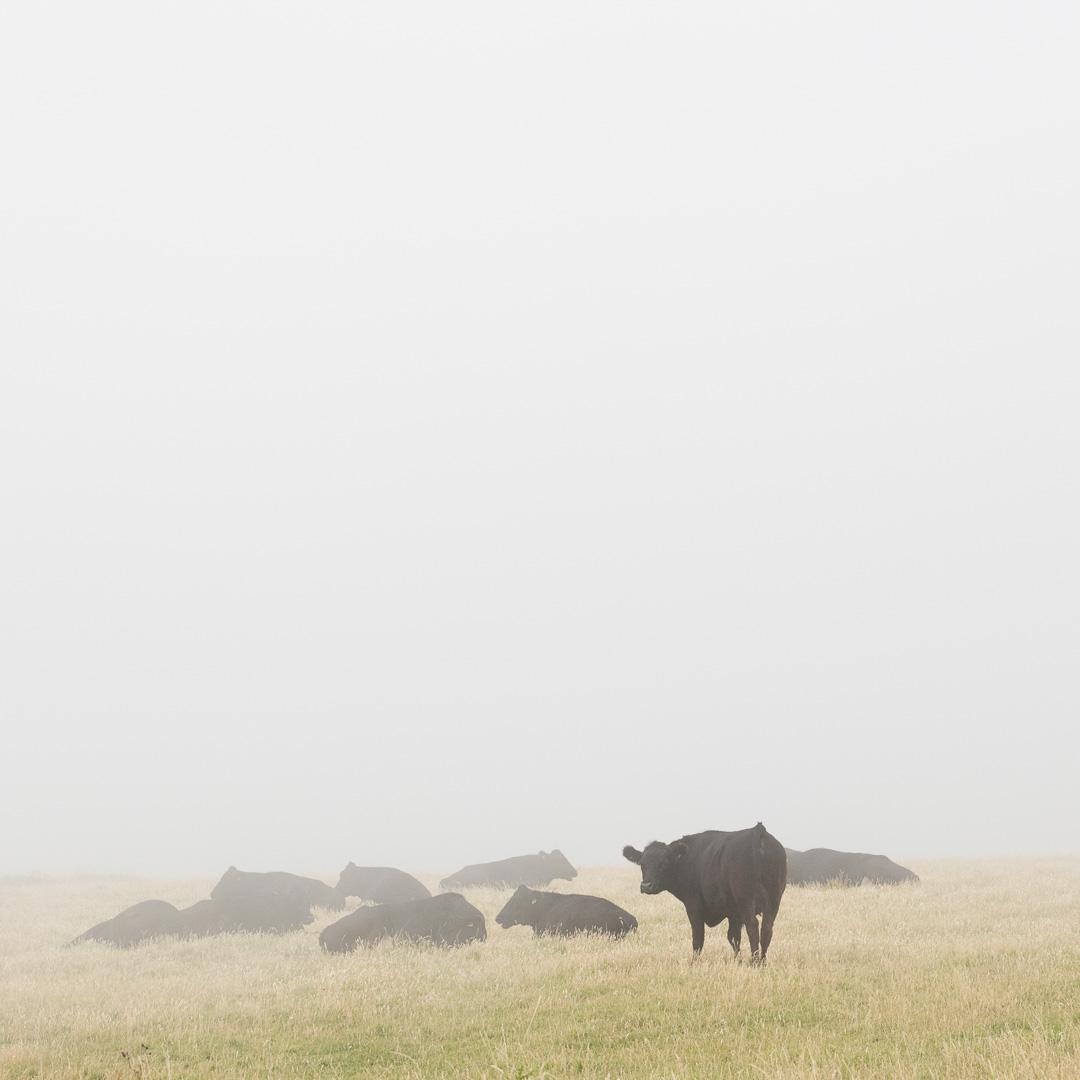 Cows, Blagdon Cliff, Devon.