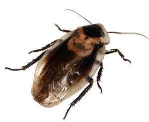 Cockroaches Are One Of Those Critters That Make Most People Squirm Yet A Complete Elimination Roaches May Not Be The Best Thing For Our Planet