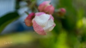 Close up Apple Blossom Bud