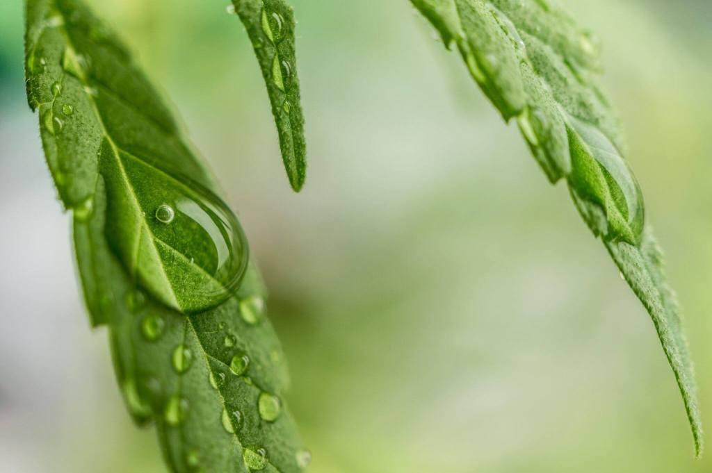 Marijuana leaf CBD oil