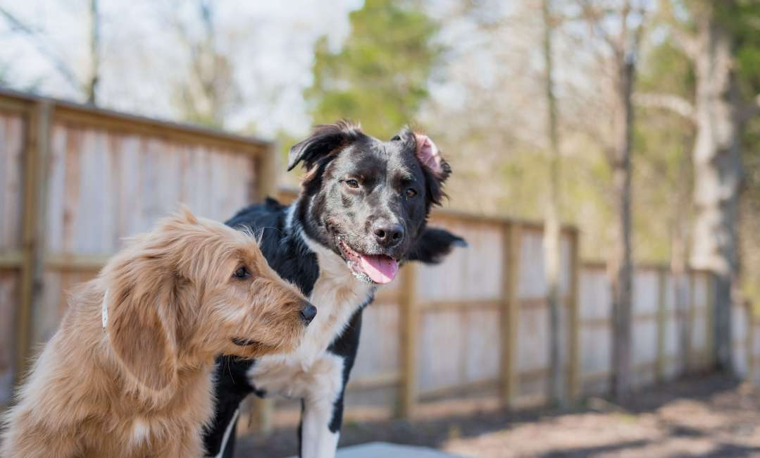 Lakeland dogs in yard