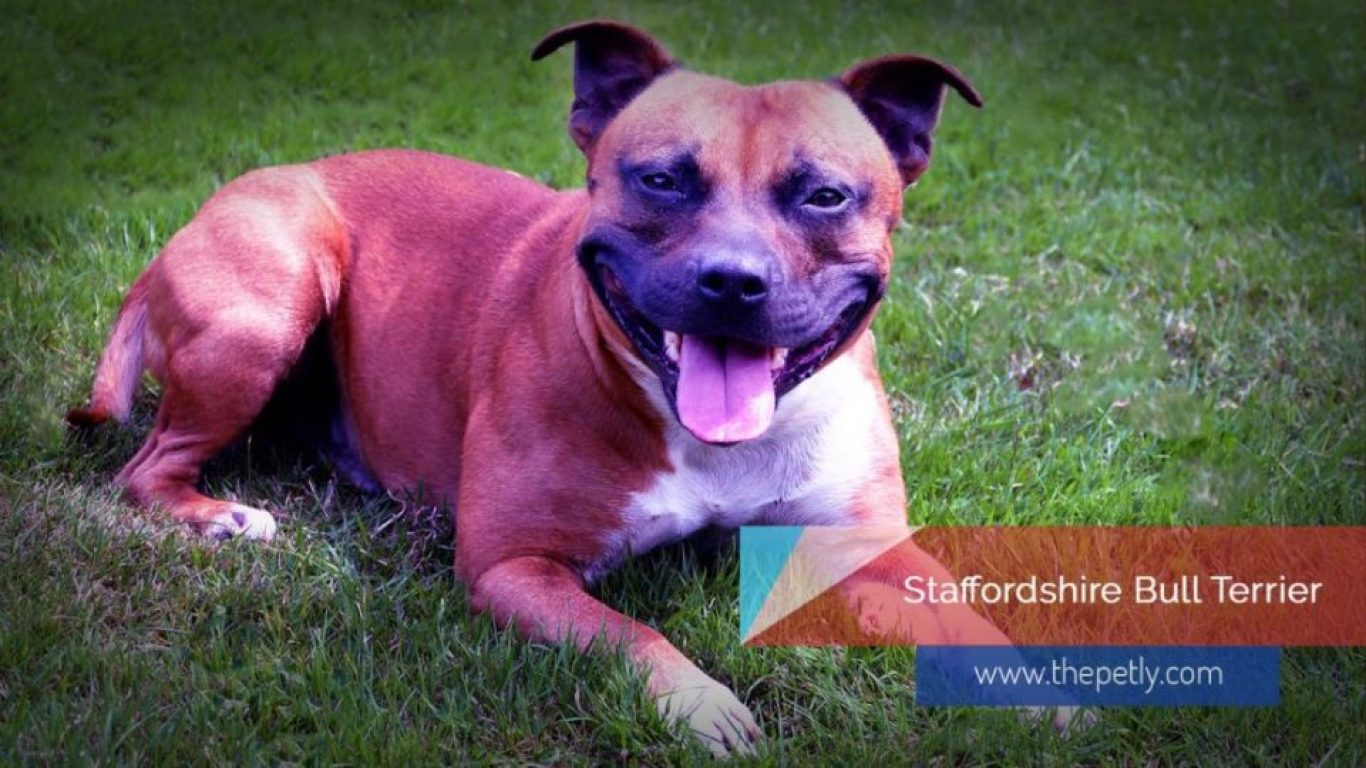 Image of The Staffordshire bull terriers