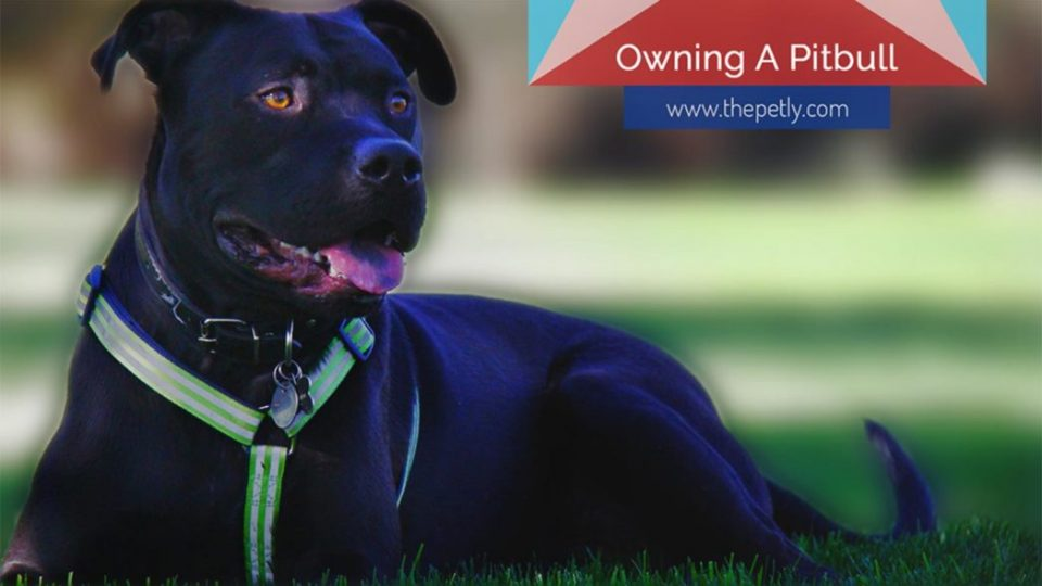 The Ultimate Guide To Owning A Pitbull For The First Time