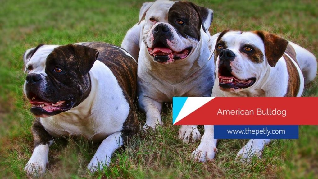 Image of The American Bulldogs - Pitbulls