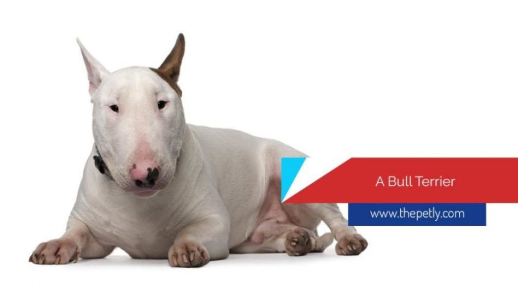 How Can You Tell What Type Of Pitbull You Have - The Bull Terrier Dog