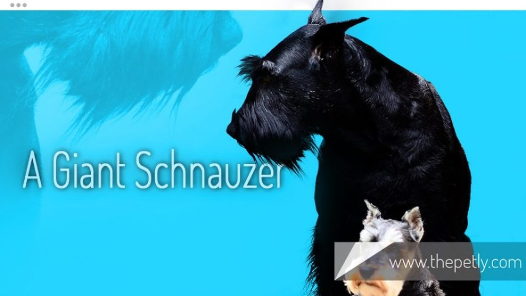 A Picture of A Giant Schnauzer Dog Breed