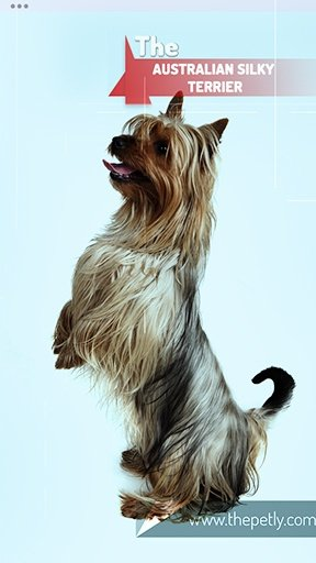 The image of the Australian Silky Terrier