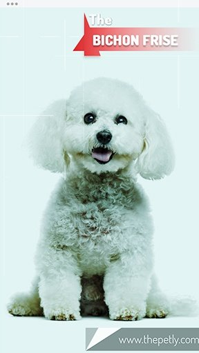 The picture of the Bichon Frise dog breed