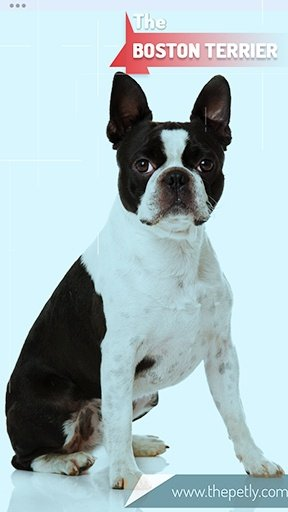 The picture of the Boston Terrier dog breed