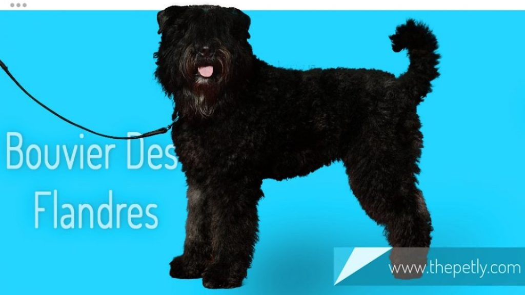 A picture of Bouvier Des Flandres Dog Breed
