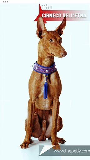 The picture of the Cirneco dell'Etna dog breed