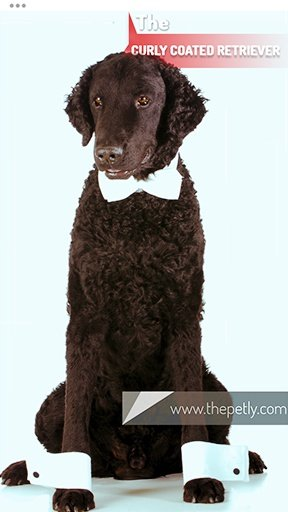 The picture of the Curly Coated Retriever dog breed