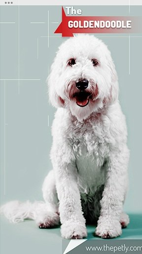 The picture of the Goldendoodle dog breed