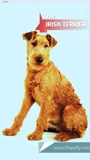 Image of the Irish Terrier dog breed