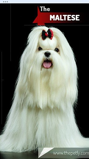 The picture of the Maltese dog breed
