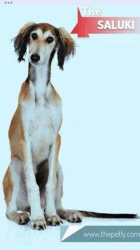 Image of the Saluki Dog Breed Seated