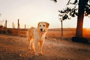 Dog Crate for Golden Retriever