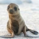 Sea_Lion_Pup