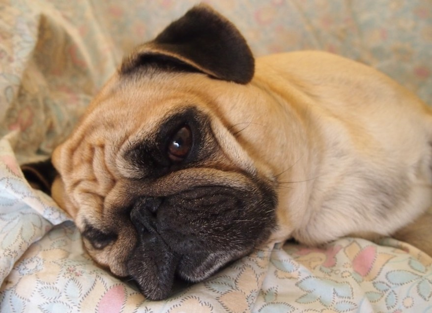 sad little pug