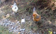 For you Frozen fans.. here's Elsa and Ana! They are 2 of my Aracana breeds.. they lay green eggs!