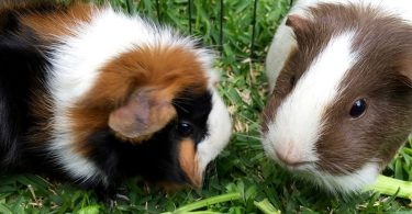 Do Guinea Pigs Have a Tail?
