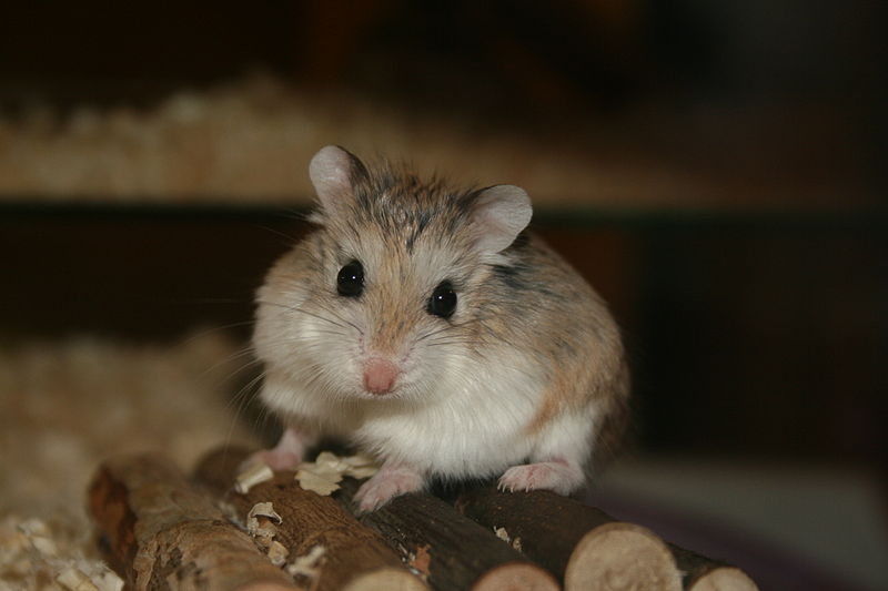 Are Hamsters Nocturnal