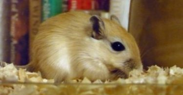 Can Gerbils Live Alone?