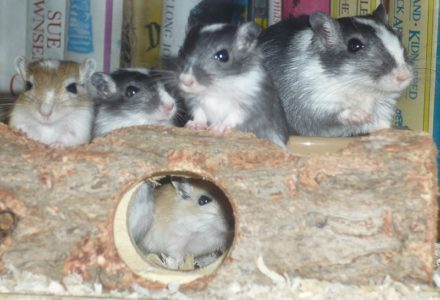 Declaning of Gerbils- What are the Signs