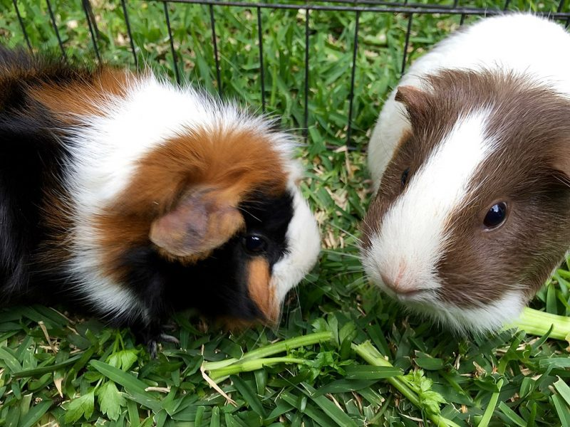 Can Guinea Pigs Blink