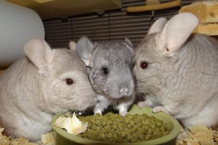 What Do Chinchillas Eat