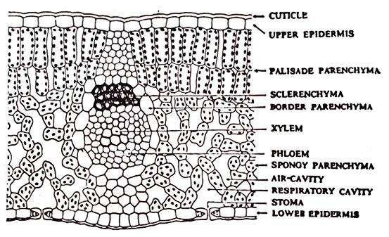 Anatomy of Leaves