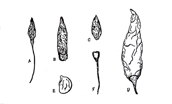 Macroscopical characters Capsicum