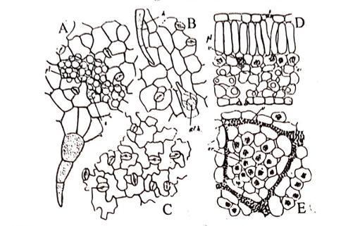 Datura Stramonium characters