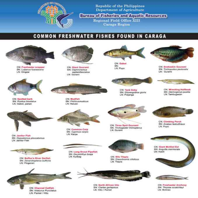 freshwater fishes found in caraga