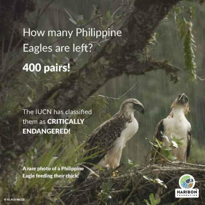 how many philippine eagles are left