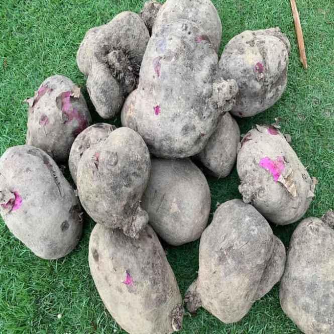 newly harvested kinampay ube