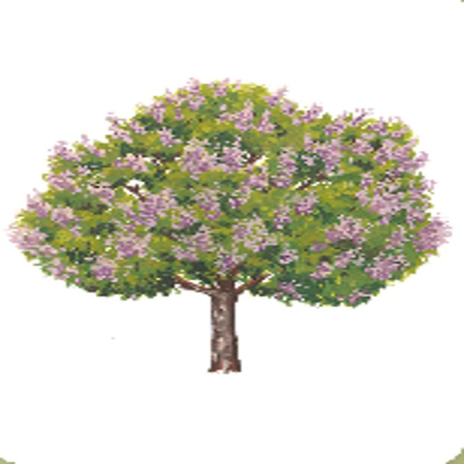banaba tree