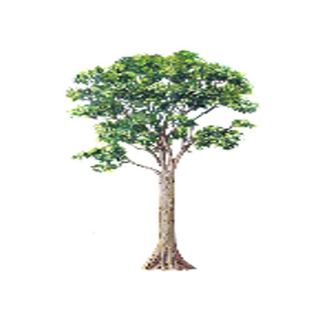 ipil tree picture