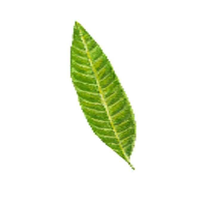 pahutan leaves