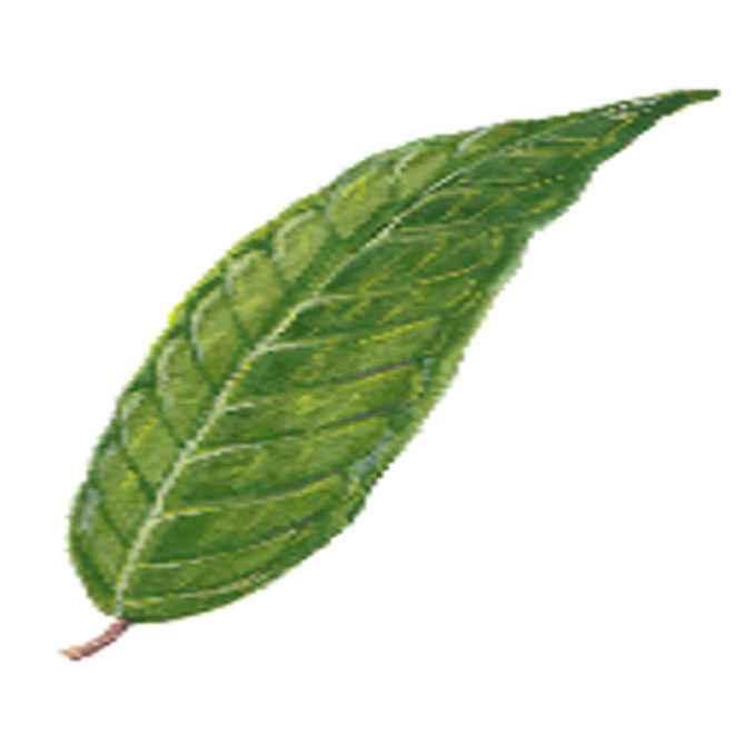 palosapis leaves