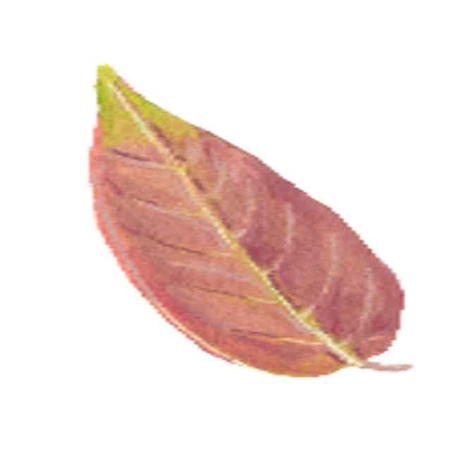 salingogon leaves