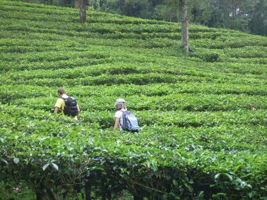 Climbing in the tea plantations
